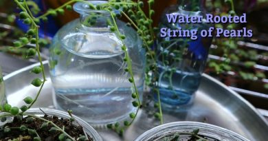 How About Head Vases For String Of Pearls Propagation Cuttings?