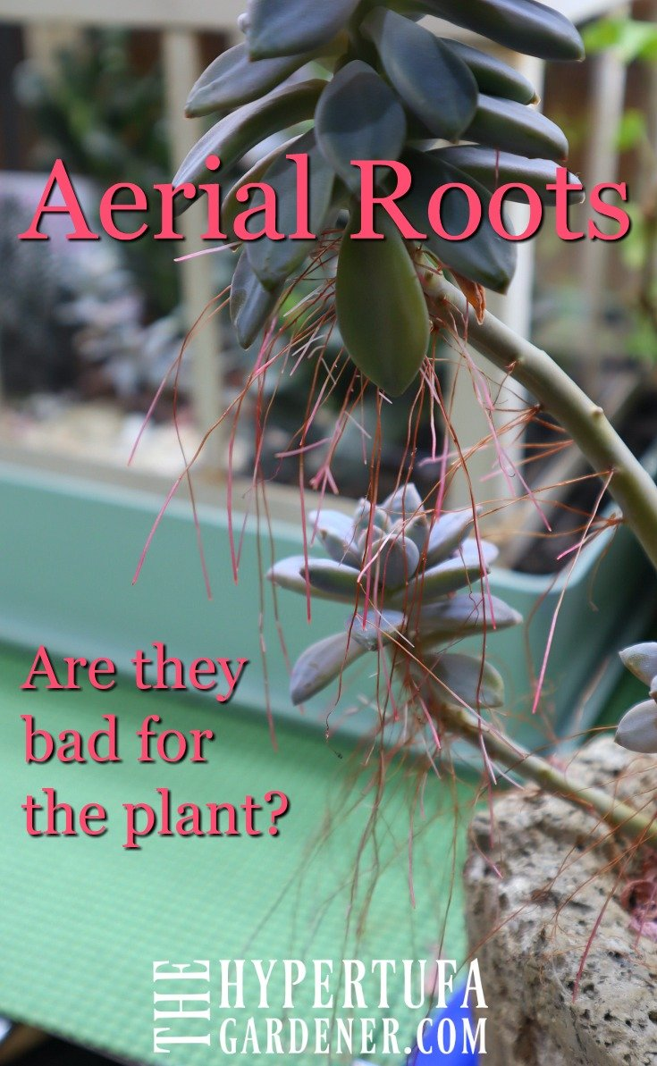 image of aerial roots on succulent