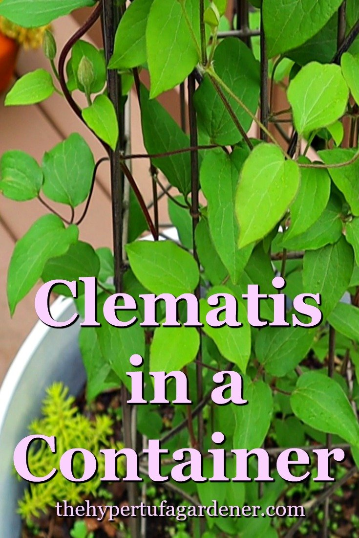 image of clematis in a pot or container