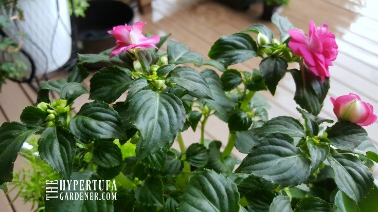 image of impatiens double rose