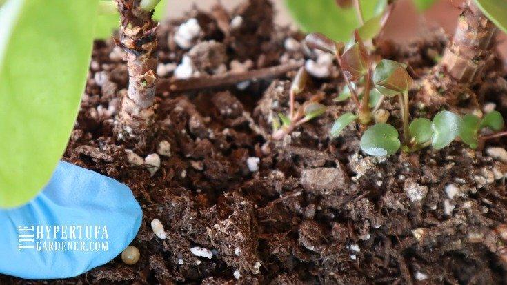 closeup image of tiny pilea sprouts