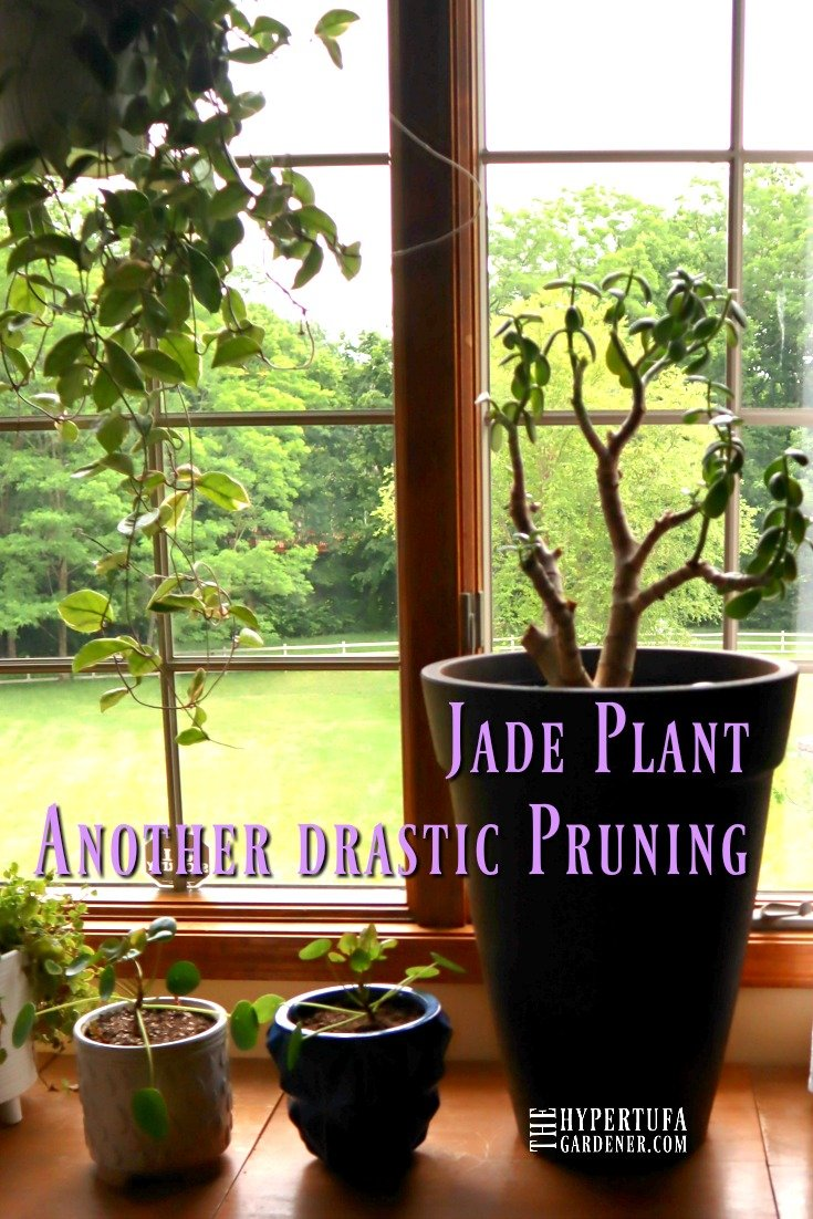 image of large jade plant in a tall planter