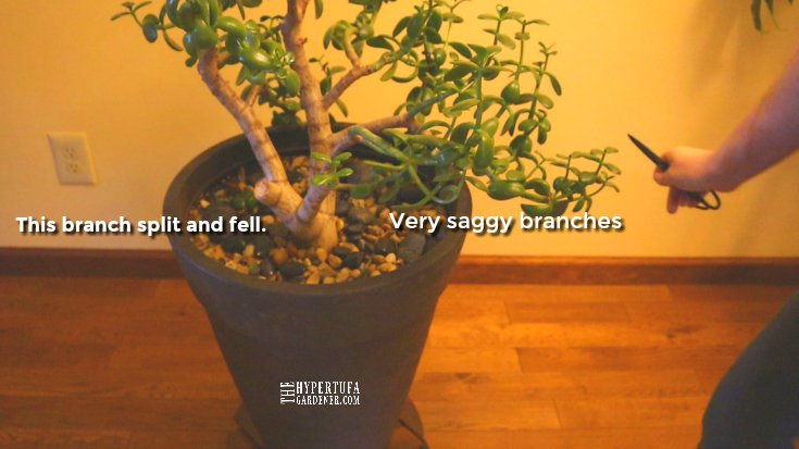 image of sagging branches on Jade Plant