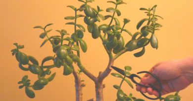 image of jade plant with pruners in lady's hand