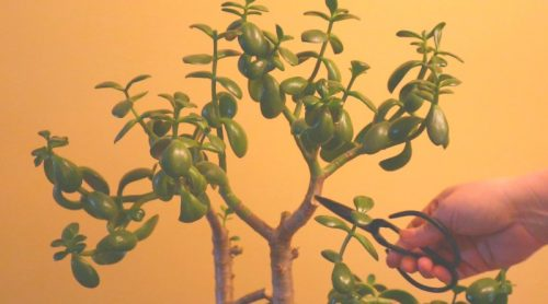 Jade Plant Pruning – Major Surgery Again – What A Fast Grower!
