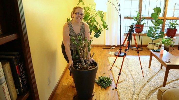 image of lady pushing large jade plant on rolling cart