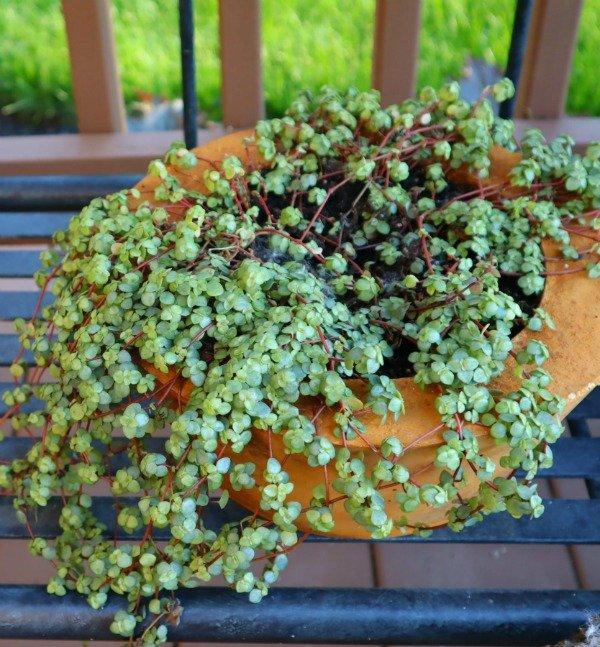 image of pilea vining in hypertufa bowl