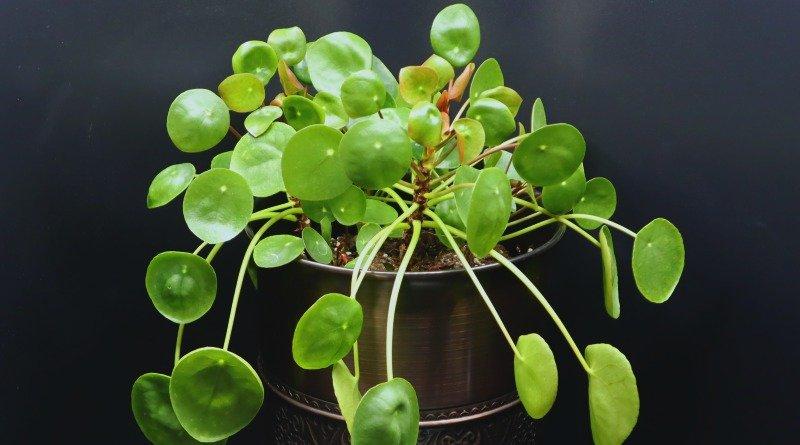 image of Pilea plant