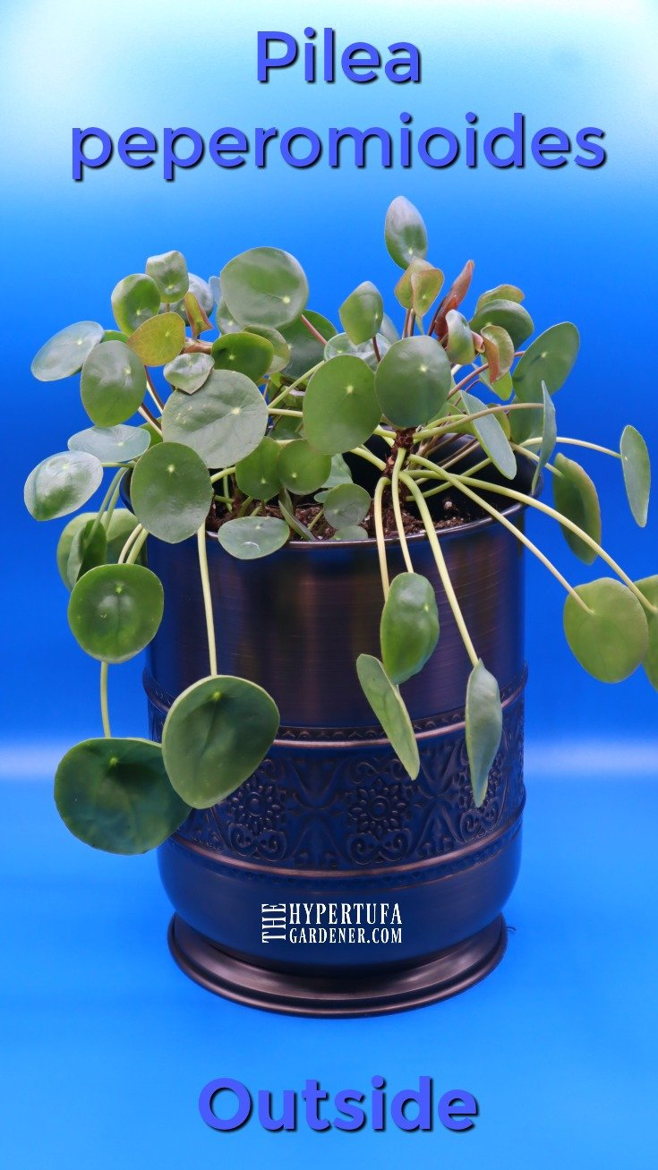 image of potted pilea peperomioides