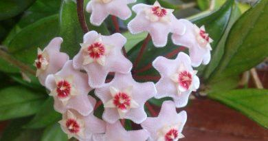 image of hoya blossom