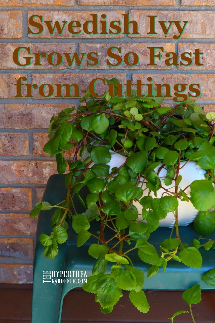 image of Swedish Ivy houseplant grown from cuttings