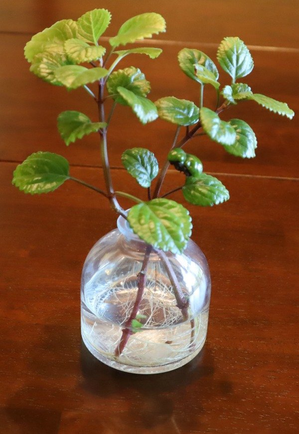 image of cuttings of Swedish Ivy growing in water
