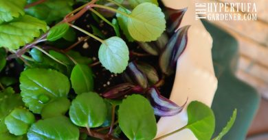 Image of Swedish Ivy with Wandering Jew