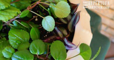 Swedish Ivy Houseplant Cuttings – So Easy To Propagate!