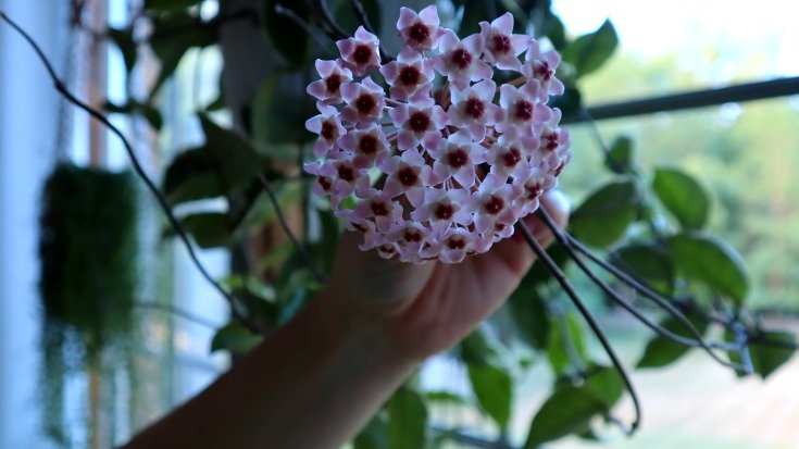 image of hand holding a blooming hoya