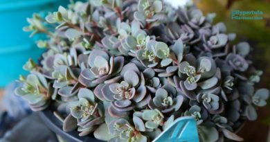 image of sedum sunsparkler blue elf plant