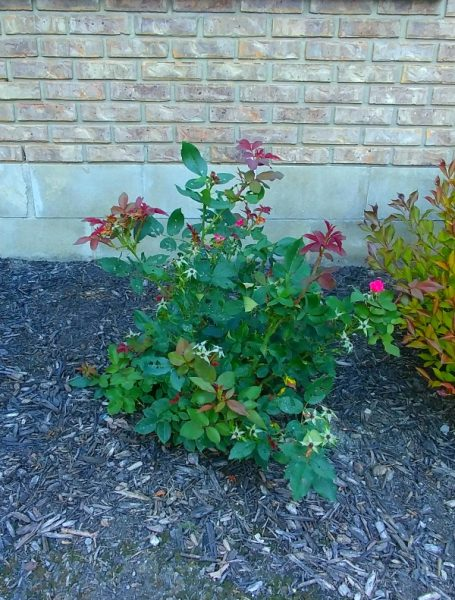 image of small knock out rose bush