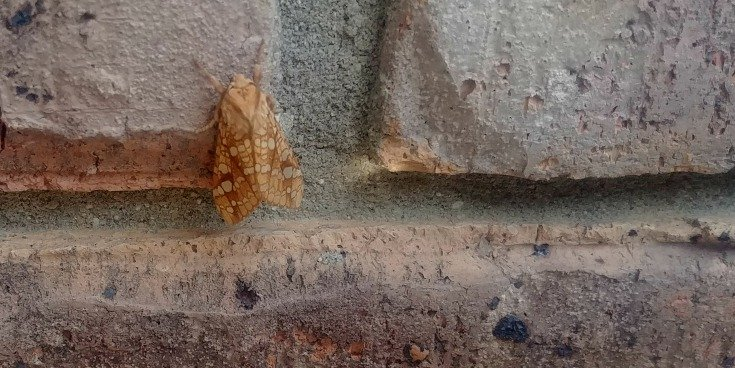 image of moth on brick wall, perhaps an Ash-tip Borer Moth
