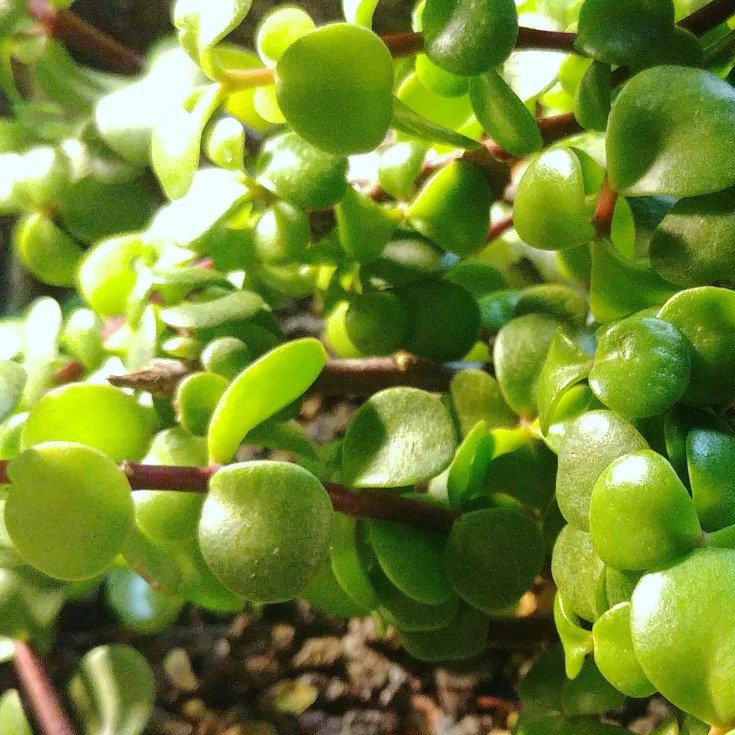 image upclose of portulacaria afra leaves