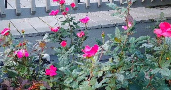 image of knock out roses blooming by deck