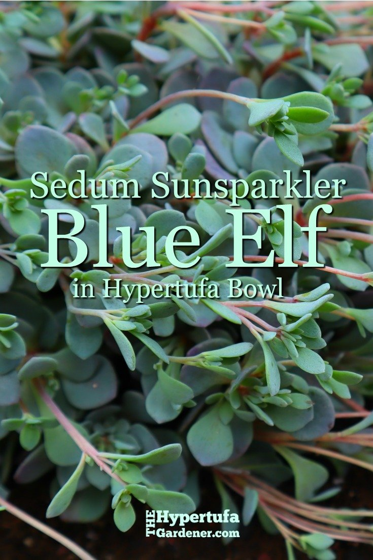 image of Sedum Sunsparkler Blue Elf in Hypertufa Bowl