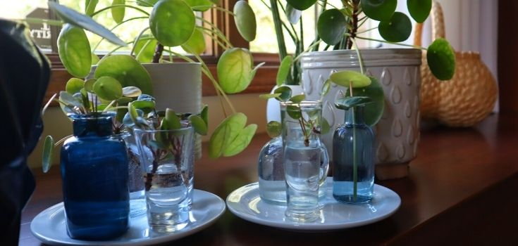 image of propagation of pilea in small bottles of water