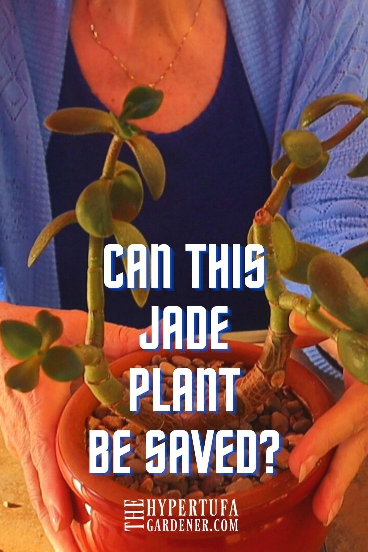 image of lady in blue holding Jade Plant potted in gravel