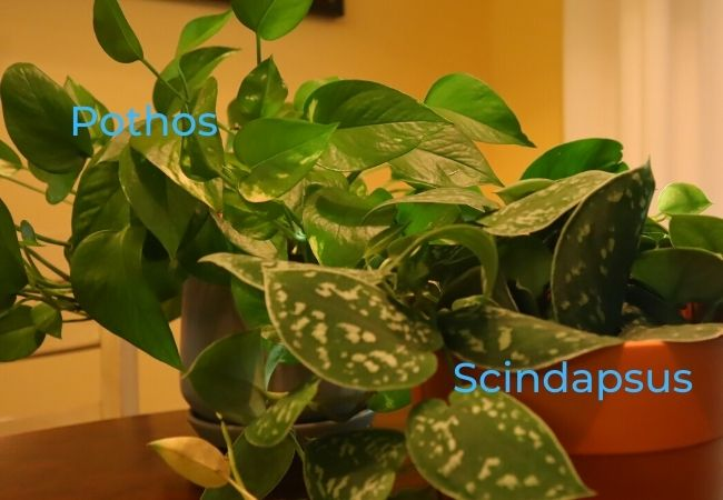 image of side by side pothos and scindapsus