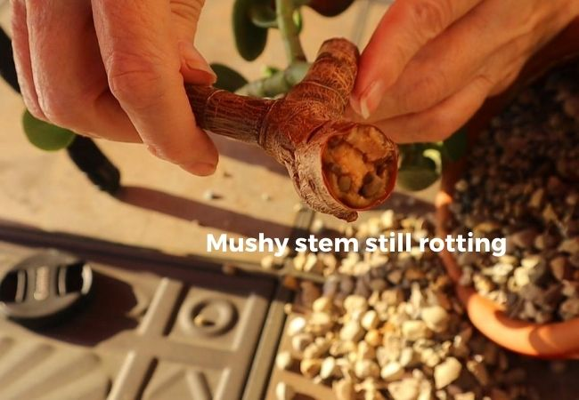 image of rotting stem of Jade Plant