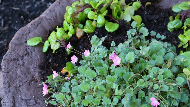 image of blooming Baby Swiss Geranium or Erodium