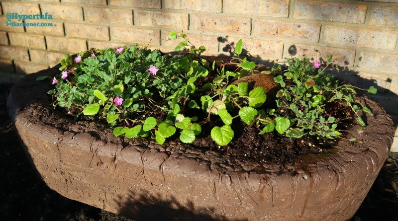 image of large hypertufa trough planted with ivy