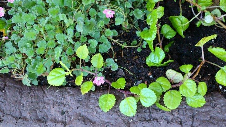 image of tiny erodium blooms