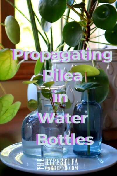 image of many pilea propagating in small water bottles