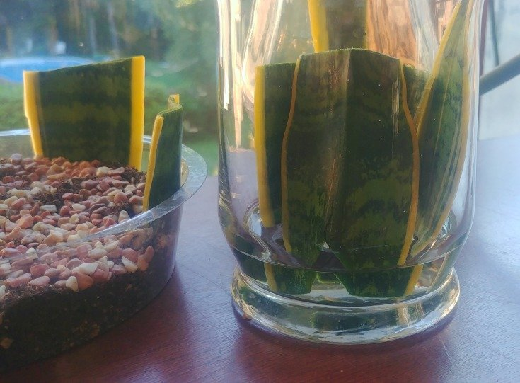 image of snake plant cuttings in water for rooting