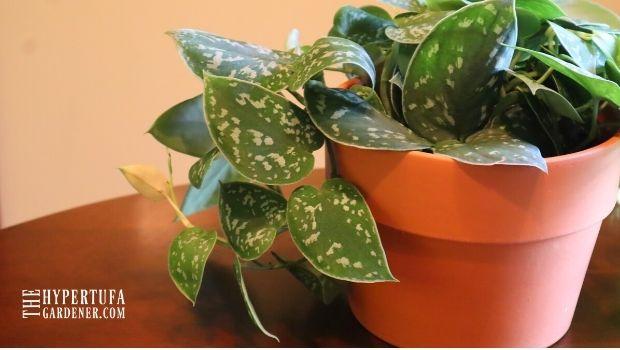 image of scindapsus pictus in terra cotta pot