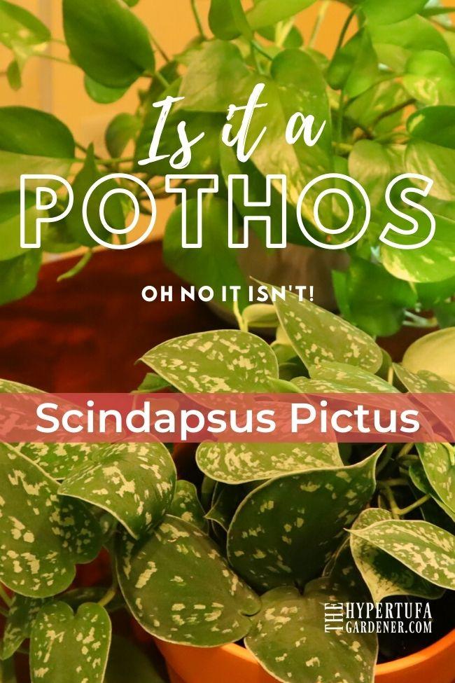 image of scindapsus pictus