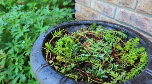 Those Garage Pots Are Fried –  Sedum Angelina To The Rescue – She'll Grow Anywhere!