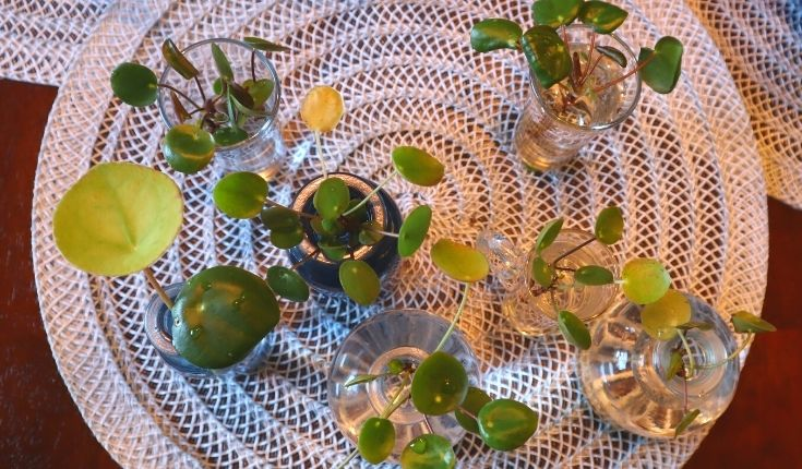image of many pilea sprouts in water bottles