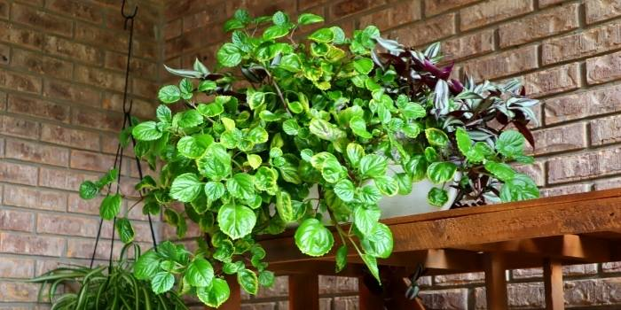 image of my swedish ivy and wandering jew plant combo