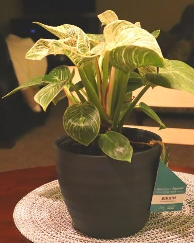 Philodendron Birkin - Wish List Plant
