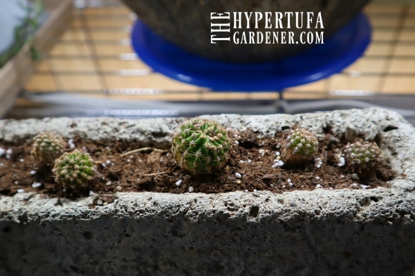 image of long hypertufa pot planted with Echinopsis pups