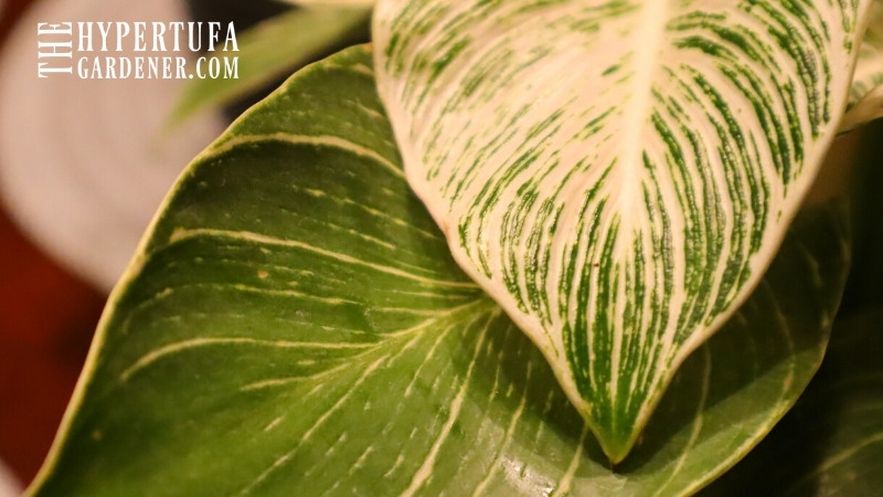 image of leaves of philodendron birkin - one of my wish list plants
