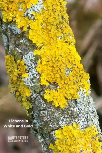 Image of lichens in white and gold on a tree branch