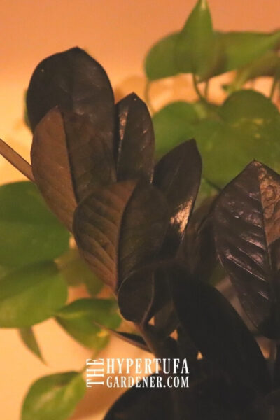 image of closeup dark leaves of ZZ Raven Plant