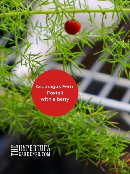 image of a red berry growing on a foxtail asparagus fern branch