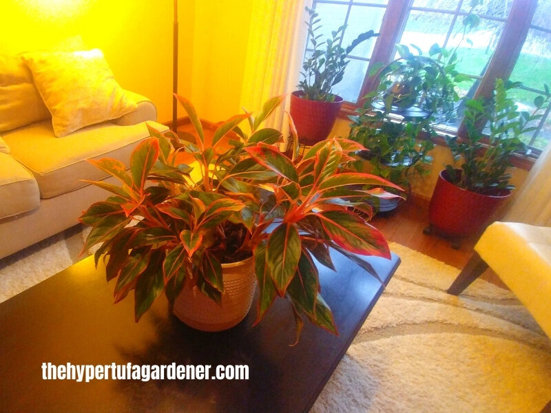 image of large Red Aglaonema on a coffee table in living room