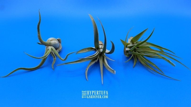 image of three small air plants growing
