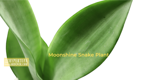 Wow! Moonshine Snake Plant Triplets – Now I Have 3!