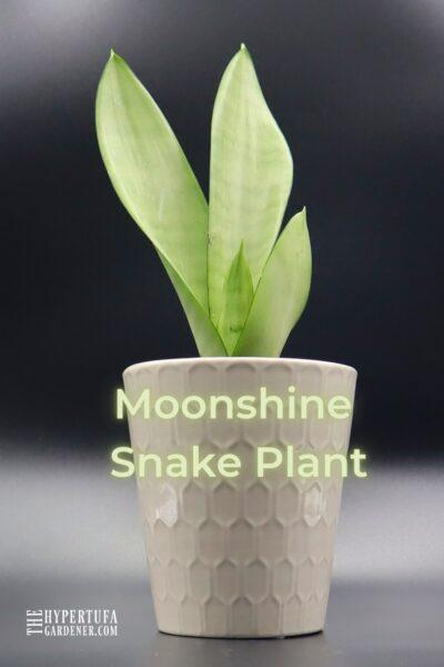 image of single Moonshine Snake Plant in white pot against dark gray gradient background
