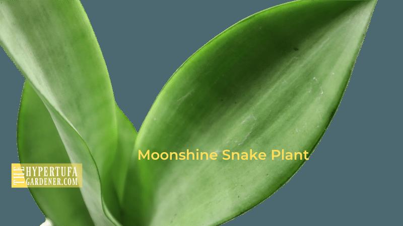 image of Moonshine Snake Plant - Sansevieria trifasciata Moonshine